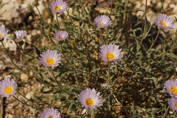 Mohave Asters